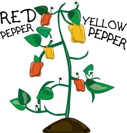 brighten: This pepper plant is a colorful addition to your gardening display.  Filled with bell peppers of all colors it will brighten up any kitchen dcor.
