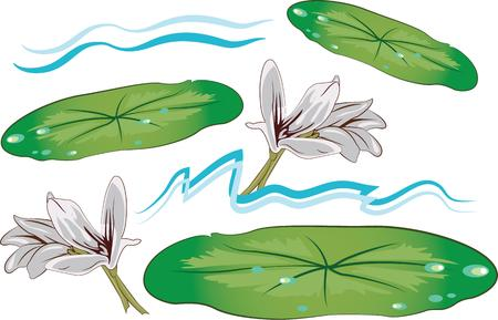 lily pad: Lily pads and flowers are beautiful on a pond.