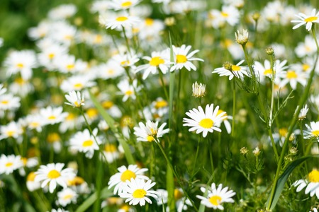 Chamomile field in natural light with blurry background