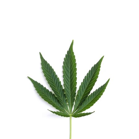 Fresh leaf of hemp on a white background. Isolated.