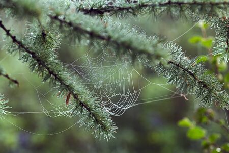 The web stretched on the branches larch. Morning light. Selective focus.