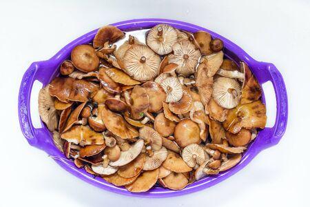 Freshly picked mushrooms in the pelvis in the bathtub. Honey fungus soaked in water.