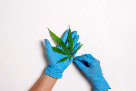 Scientists hand in protective gloves with hemp leaf on white table. Concept of herbal alternative medicine, pharmaceutical industry.