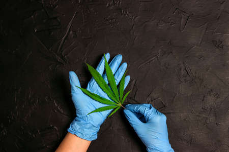 Scientists hand in protective gloves with hemp leaf on black background. Concept of herbal alternative medicine, pharmaceutical industry.