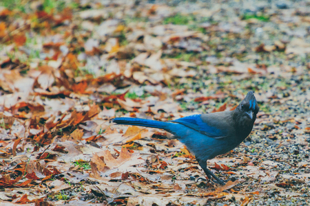 Close-up of Steller's Jay, also known as the long-crested, mountain, and pine jay, a jay native to western North America, with the background of fallen leaves in the forest Standard-Bild