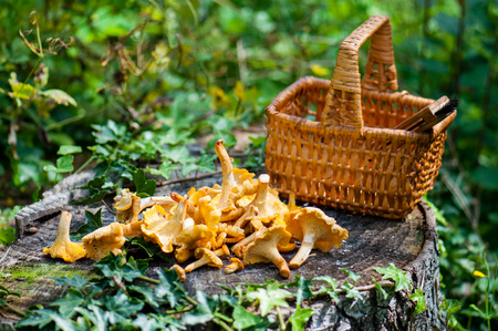 Basket of chanterelles -Cantharellus cibarius in a french forest. 版權商用圖片