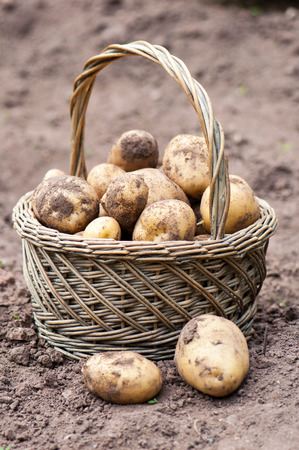 organics: Wicker basket with organics potatoes in a garden. Stock Photo