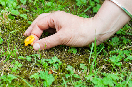 cantharellus: Harveting chanterelles -Cantharellus cibarius in a french forest.