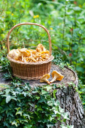 cantharellus: Basket of chanterelles -Cantharellus cibarius in a french forest. Stock Photo