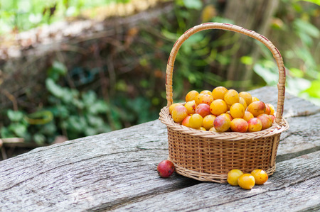 Mirabelles plums of Lorraine, France, in a wicker basket.