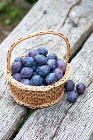organics: Harvesting of organics plums of Alsace in France.