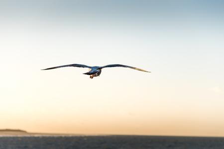larus: European Herring Gull; at sunset-Larus argentatus
