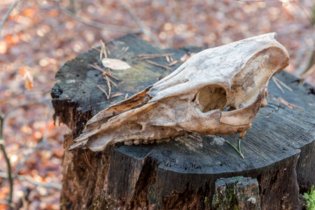 Skull of dead cervid in a forest in autumn Stock Photo