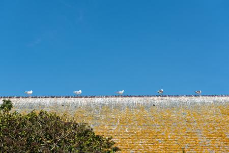 Gulls on a slate house roof, France, ile de  Tatihou, Cotentin, spring
