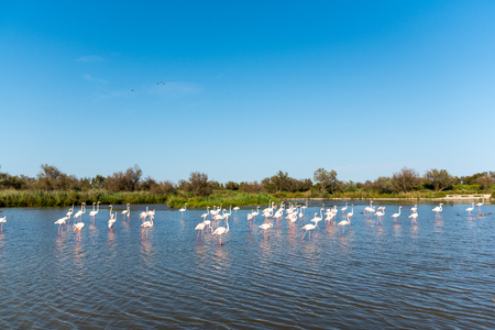 Pink flamingos in the wild. Green mangroves surround a natural pond inhabited by a flock of birds