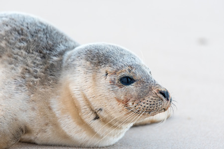 Close-up on the head of a young seal sitting on a beach