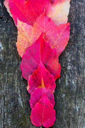 Virginia creeper leaves on a wooden table at the autumn