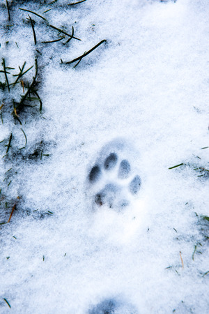 Traces of cat's feet in the snow