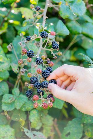 Picking wild blackberries in the wild