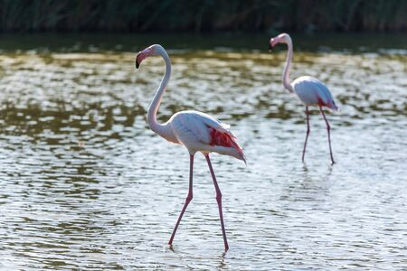 The pink flamingo in a profile in water , France, Camargue