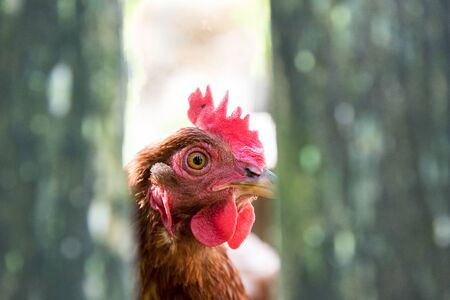 Red hen behind a fence