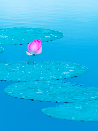 Lotus at pond Stock Photo