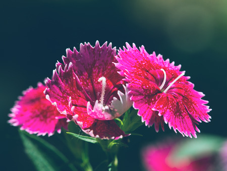 Dianthus chinensis close up view