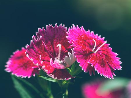 estate: Dianthus chinensis close up view