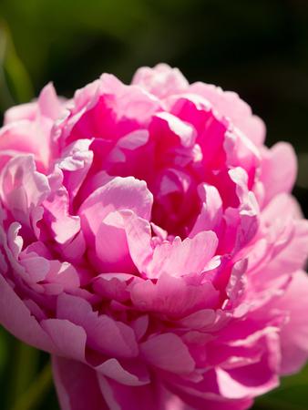 Pink peony close-up view