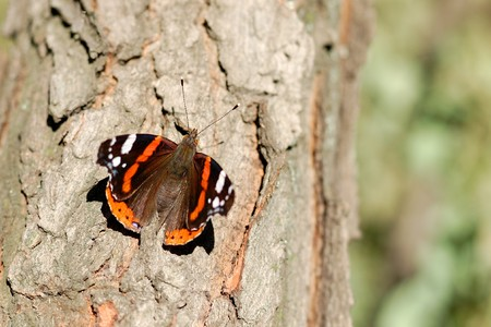vanessa: Red Admiral butterfly (Vanessa atalanta) on tree Stock Photo