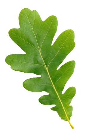 Eiken groene blad geïsoleerd op witte achtergrond