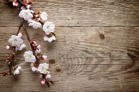 burgeon: Spring blossom on wood background Stock Photo