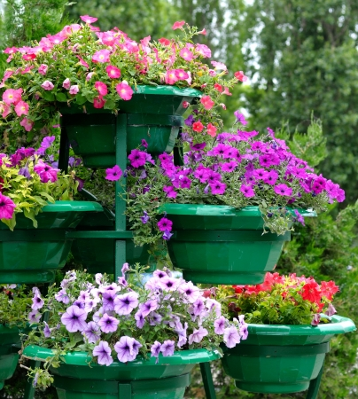 Petunia flowers in pots outdoors photo