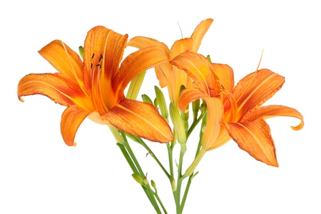 orange lily: Lily flowers isolated on white background