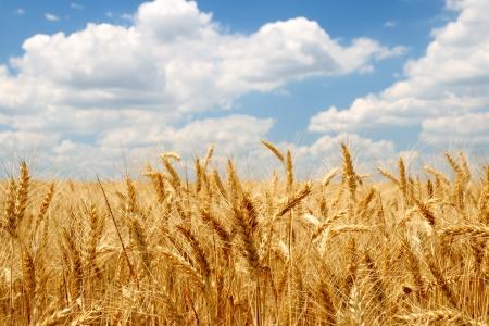 Tarwe oren op het veld onder de blauwe hemel