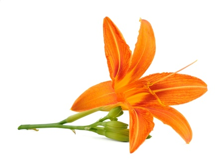 orange lily: Lily flower isolated on white background