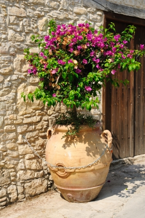 Bougainvillea in big pot outdoors photo
