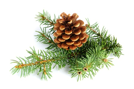 Spruce branches with fir cone isolated on white background