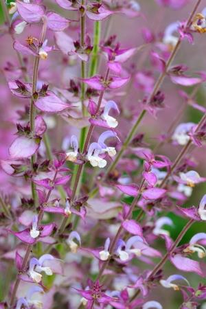 salvia: Salvia sclarea flowers closeup Stock Photo