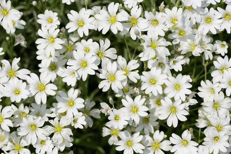 chickweed: Stellaria flowers closeup