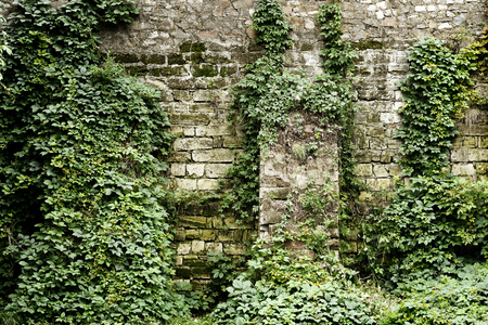 ivy wall: Stone wall overgrown with ivy in retro style Stock Photo