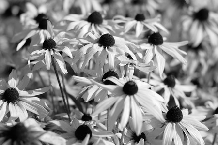 white flowers: Black and white image of rudbeckia flowers Stock Photo