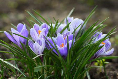crocus: Crocus flowers in spring