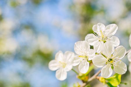 colores calidos: Hermosas flores de cerezo en colores c�lidos Foto de archivo