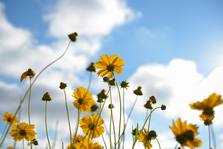 yellow blossom: Coreopsis pubescens flowers on blue sky background
