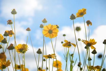 tickseed: Tickseed flowers on sky background