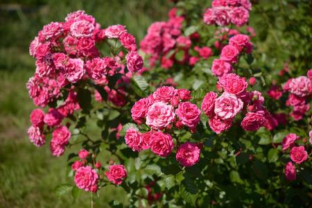 shrub: Bush of pink roses in garden Stock Photo