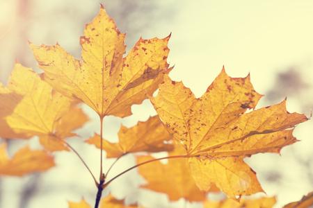 colores calidos: arce hojas de otoño en tonos de colores cálidos