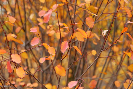 shrub: Red autumn leaves on shrub Stock Photo