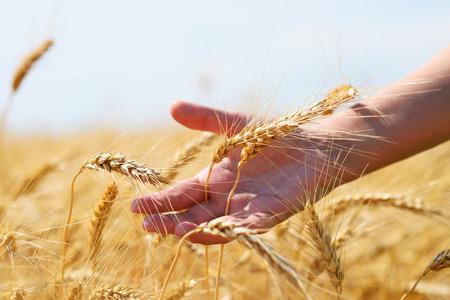 grain fields: Golden ears of wheat in hand